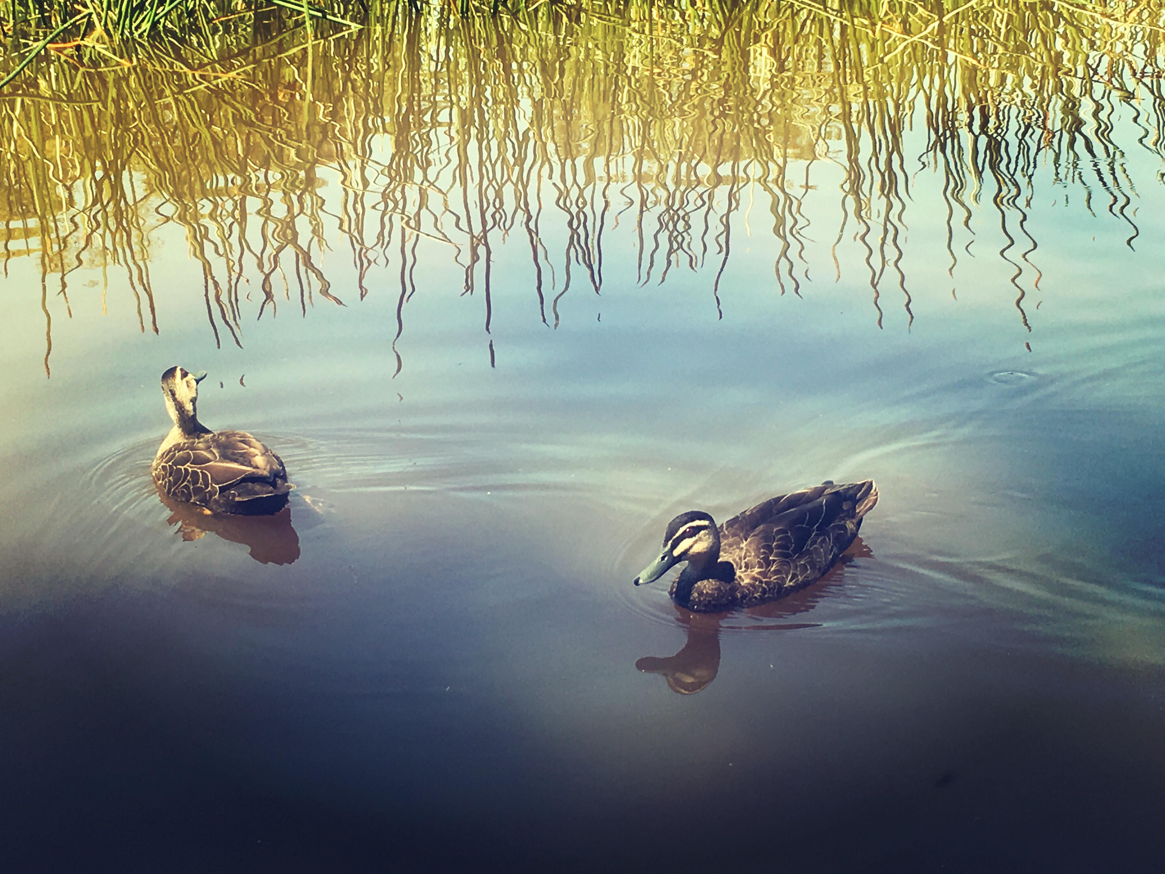 Ducks photography