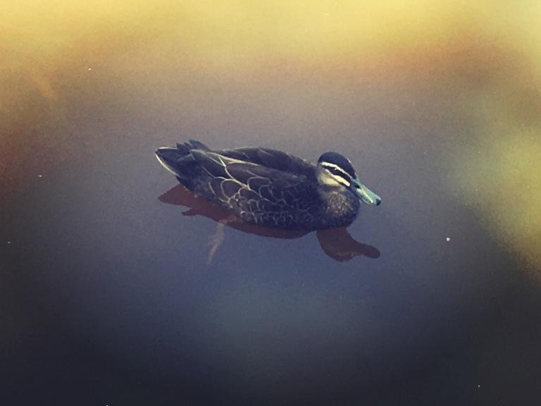 fauna photography ducks